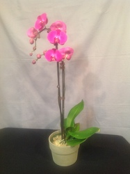 Purple Phalaenopsis Orchid Plant from Lewis Florist in Grayslake, IL