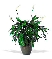 Spathiphyllum Plant from Lewis Florist in Grayslake, IL
