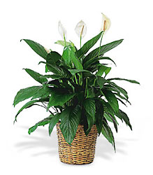 Large Spathiphyllum Plant from Lewis Florist in Grayslake, IL