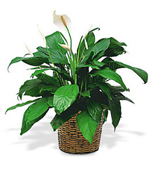 Medium Spathiphyllum Plant from Lewis Florist in Grayslake, IL