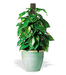 Vertical Pothos on Pole from Lewis Florist in Grayslake, IL