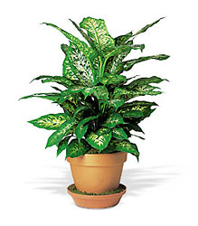 Dieffenbachia from Lewis Florist in Grayslake, IL