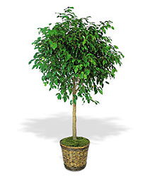 Ficus Tree from Lewis Florist in Grayslake, IL