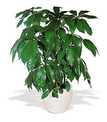 Schefflera from Lewis Florist in Grayslake, IL