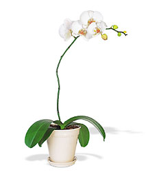 White Phalaenopsis Orchid from Lewis Florist in Grayslake, IL