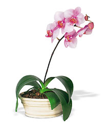 Lavender Phalaenopsis Orchid from Lewis Florist in Grayslake, IL