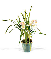 White Orchid Plant from Lewis Florist in Grayslake, IL