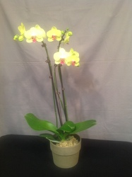Yellow Phalaenopsis Orchid Plant from Lewis Florist in Grayslake, IL